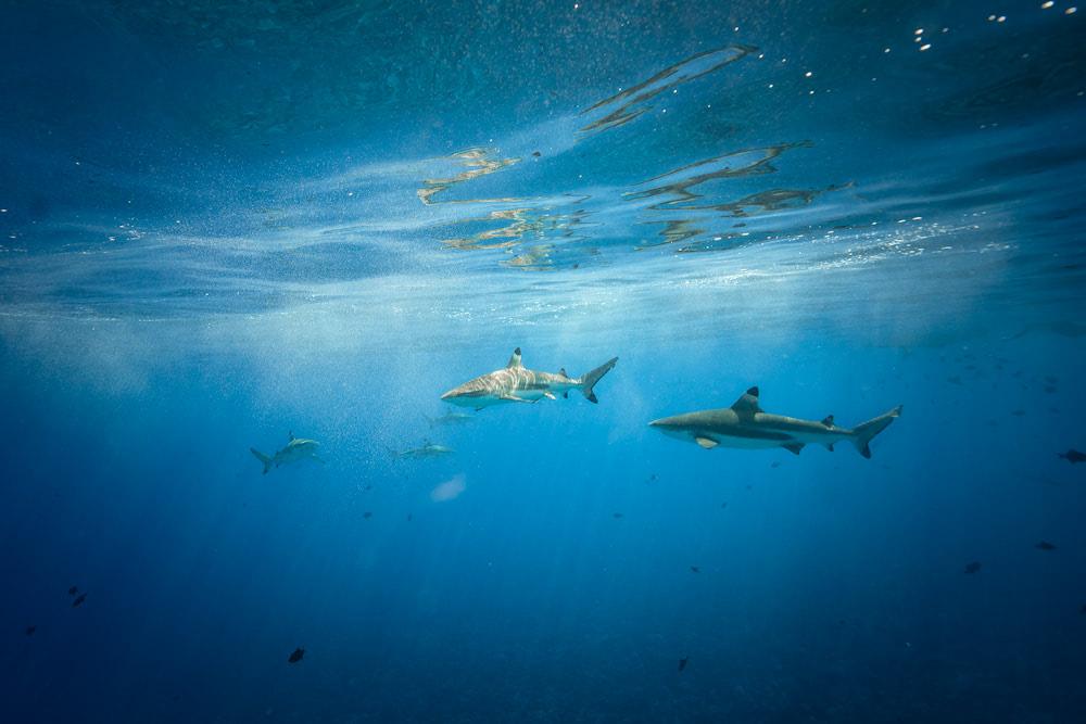 The Ultimate Romantic Couples Getaway to Bora Bora French Polynesia Sharks