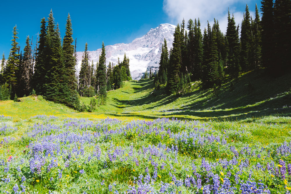 Mount Rainier National Park Guide - Everything You Need to Know - Renee Roaming - Wildflowers