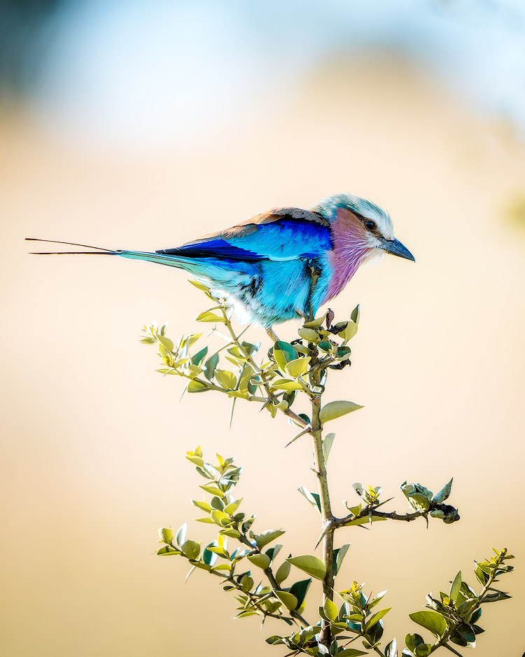 Experiencing an Incredible Luxury Safari at Solio Lodge Kenya Lilac Breasted Roller
