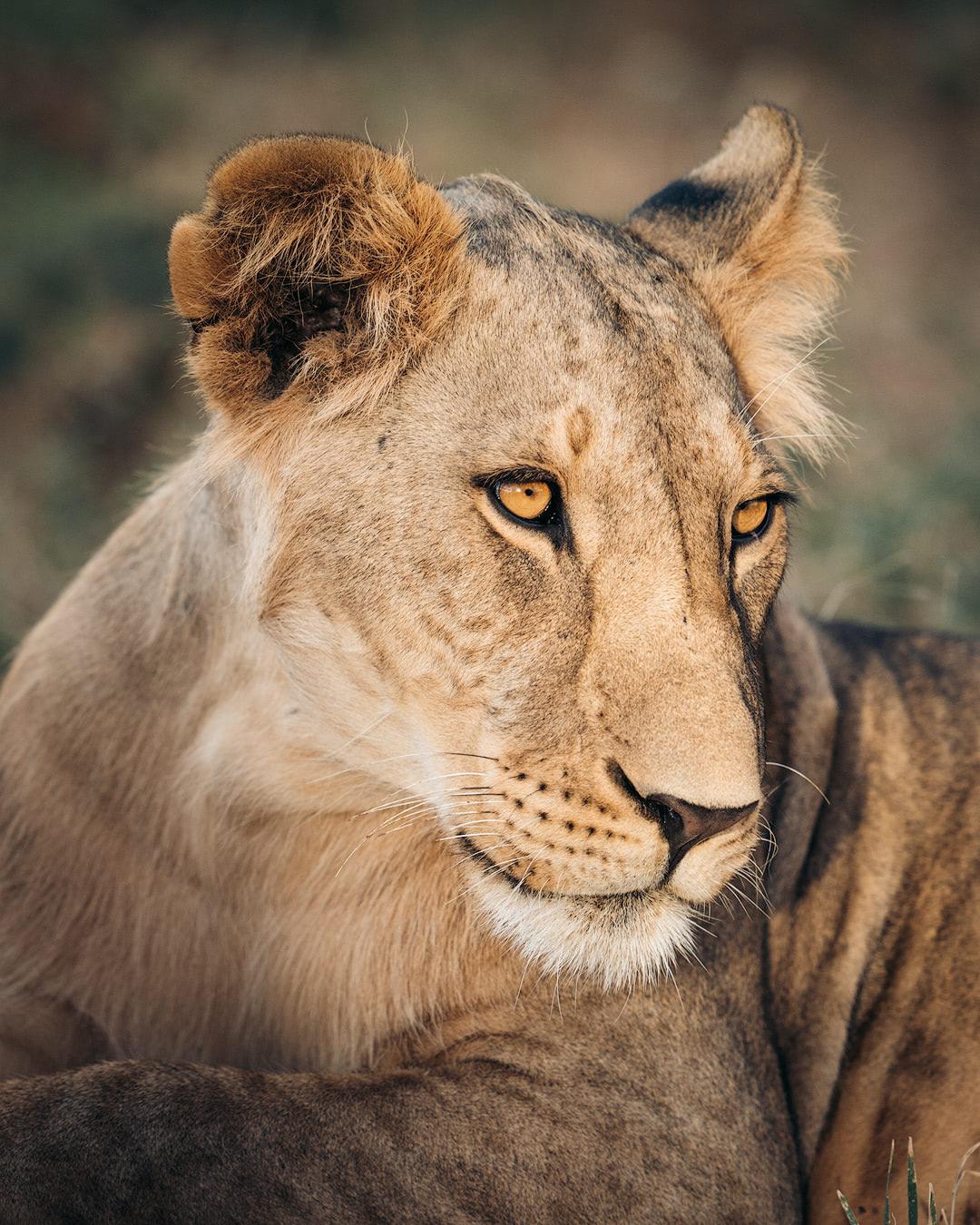 A Magical Stay at Ashnil Samburu Camp, Kenya - Lion Portrait