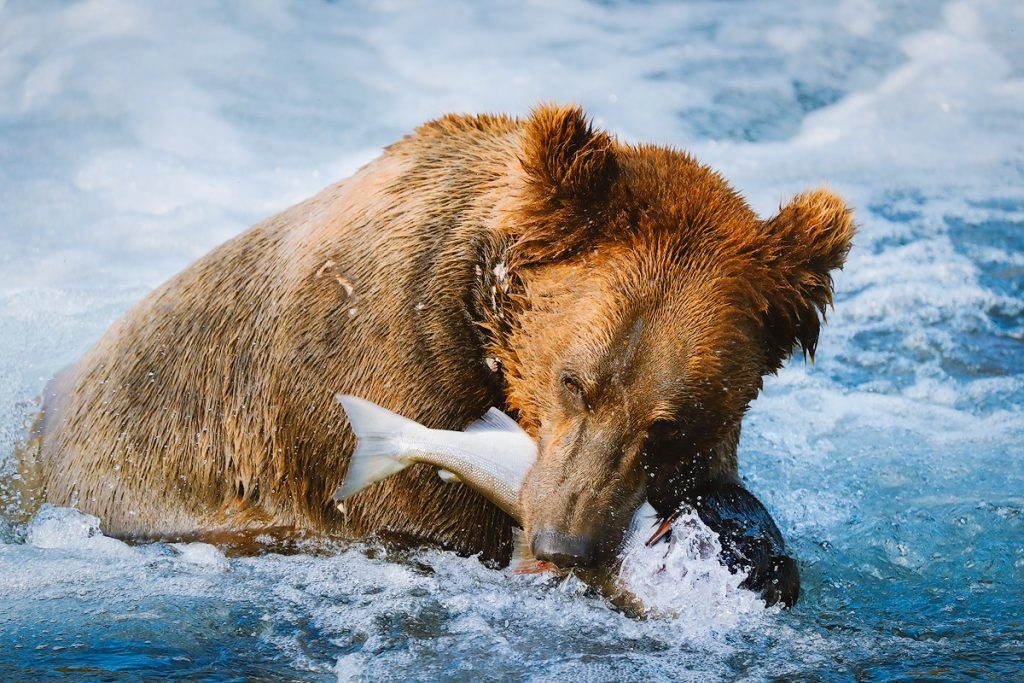Introduction to Bear Safety when Hiking and Camping - Bear photography in Katmai National Park Alaska