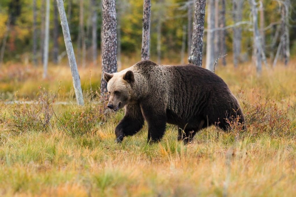 Must Know Bear Safety for Hiking and Camping