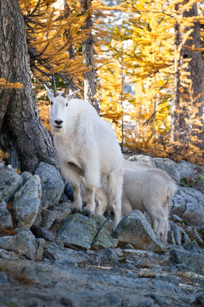 Best outdoor things to do during fall in Washington State - Backpacking in the Enchantments mountain goat