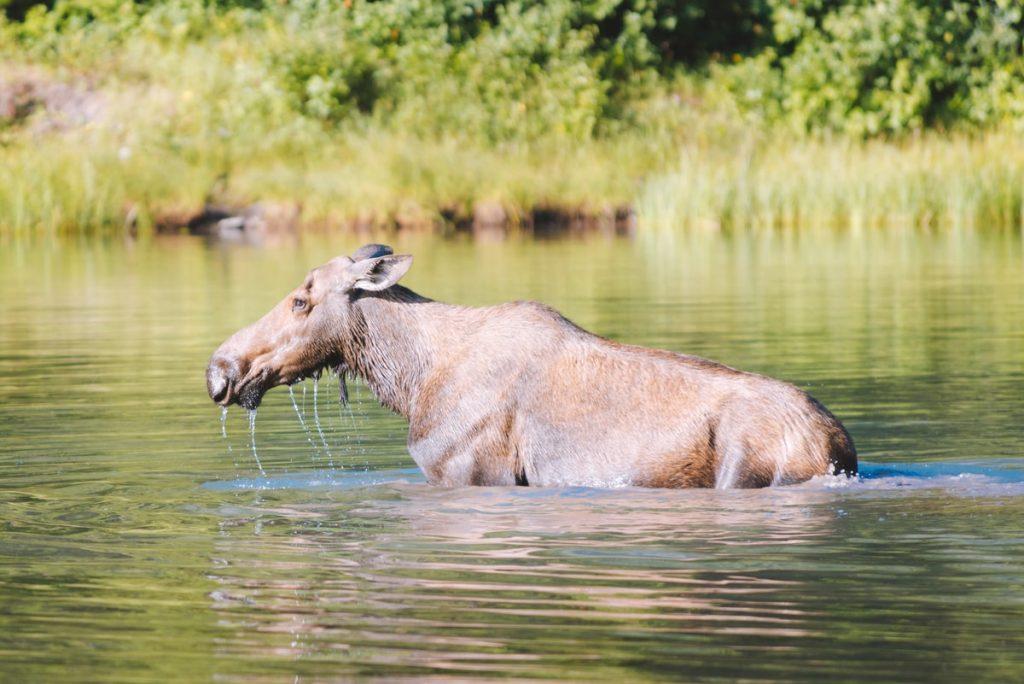 Best National Parks to Visit in Summer - Glacier National Park Moose