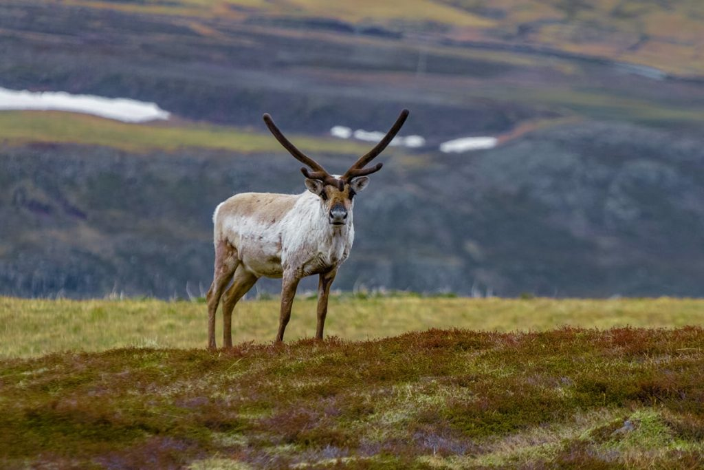 Incredible Iceland Road Trip Itinerary and Planning Guide - East Fjords Reindeer