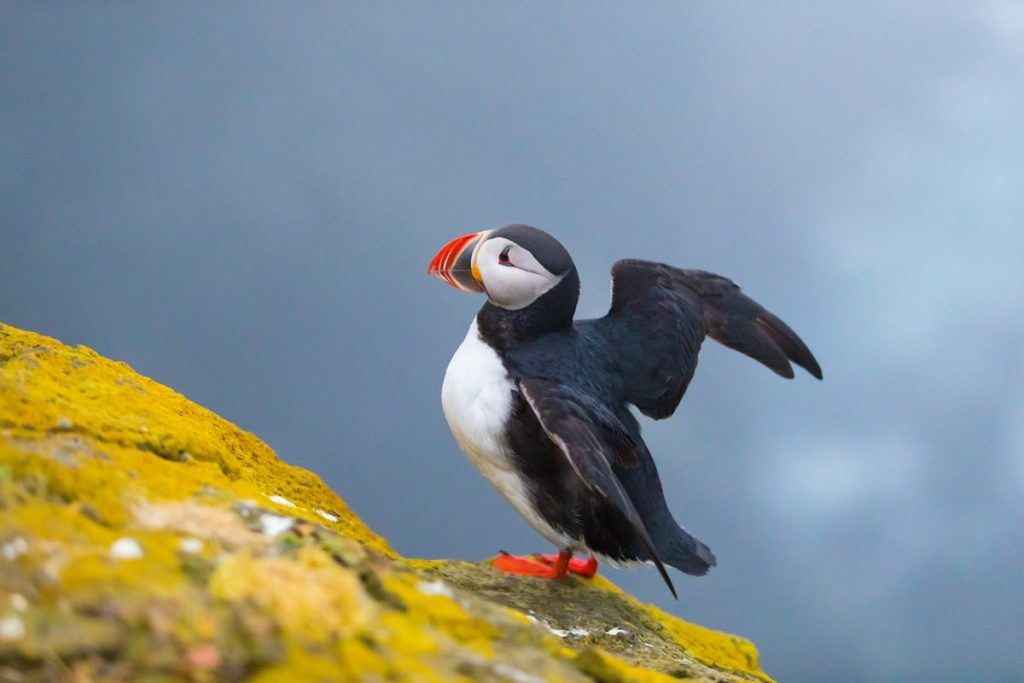 Incredible Iceland Road Trip Itinerary and Planning Guide - Puffin in Iceland