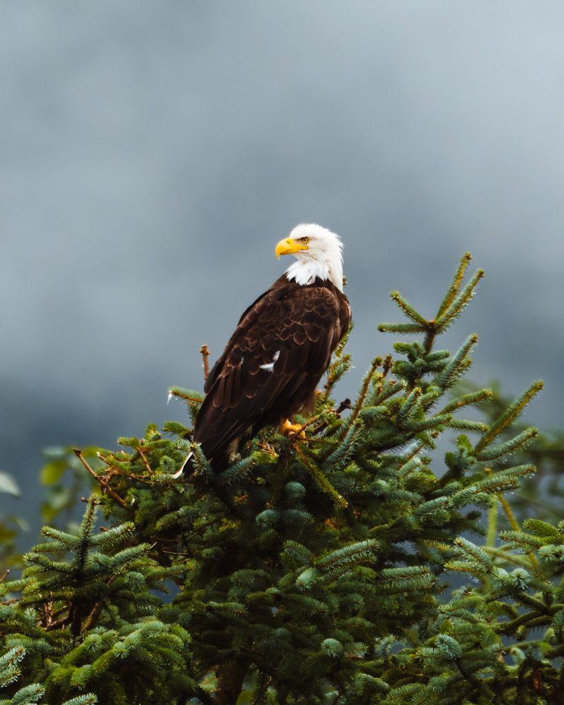 Spot Bald Eagles in Juneau