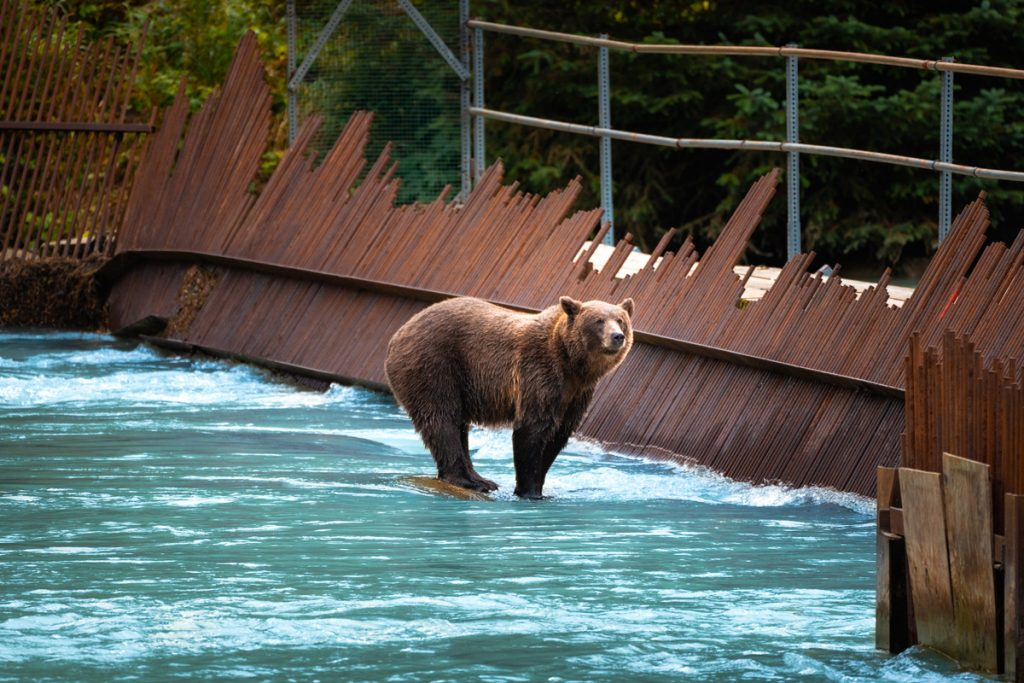 Epic 6 Day Southeast Alaska Itinerary - Brown Bear in Chilkoot Lake Recreation Area Haines